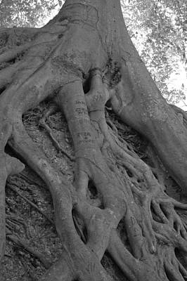 Tree Roots Photograph - Roots II by Suzanne Gaff