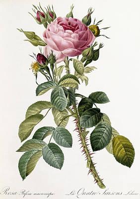 Rosebud Painting - Rosa Bifera Macrocarpa by Pierre Joseph Redoute