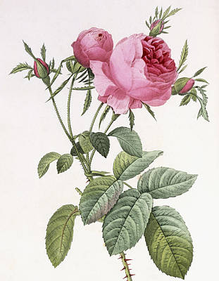 Leafy Painting - Rosa Centifolia Foliacea by Pierre Joseph Redoute