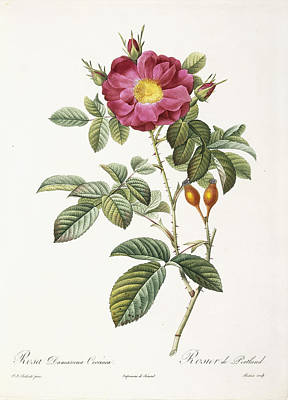 Early Spring Painting - Rosa Damascena Coccina by Pierre Joseph Redoute