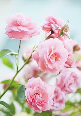 Eliza Photograph - Rosa 'eliza' Flowers by Maria Mosolova