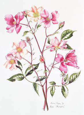 Roses Drawing - Rosa Mutabilis by Alison Cooper