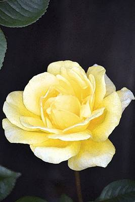 Rose 196 Print by Pamela Cooper