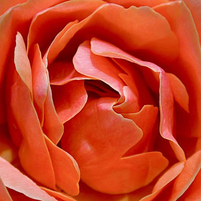 Peach Photograph - Rose Abstract by Rona Black