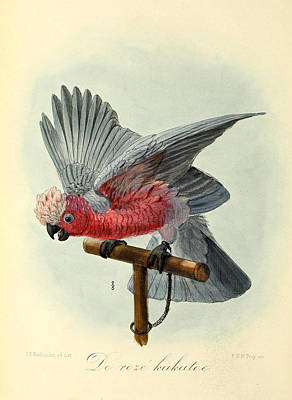 Rose Cockatoo Print by J G Keulemans