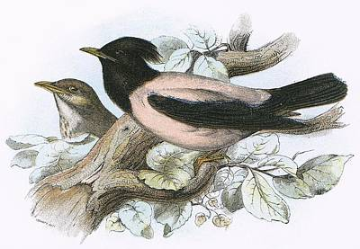 Rose Coloured Starling Print by English School