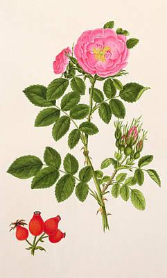 Rose Eglanteria Print by T Goetz