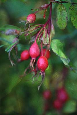 Prickly Wild Rose Photograph - Rose Hips by Shirley Sirois