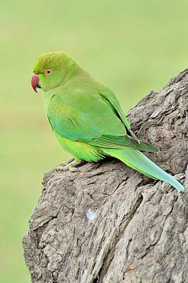 Parakeet Digital Art - Rose-ringed Parakeet by Kumarjit Paul choudhury