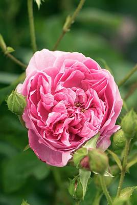 Rose (rosa 'harlow Carr' ) Flower Print by Adrian Thomas