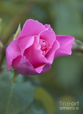 Mccartney Photograph - Rose (rosa 'the Mccartney Rose') by Carol Casselden