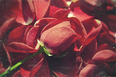 Poetic Photograph - Rose by Taylan Soyturk