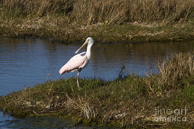 Pale Pink Coastal Photograph - Roseate Spoonbill by Anne Rodkin