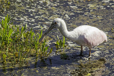 Animals And Earth Photograph - Roseate Spoonbill II by Susan Molnar