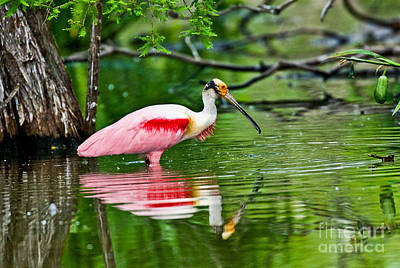 Spoonbill Photograph - Roseate Spoonbill Wading by Anthony Mercieca