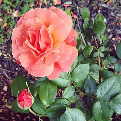 Floral Photograph - Roses Are Salmon...wait, What!? by Amber Flowers