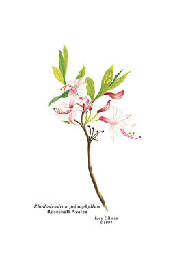 English Gouache Painting - Roseshell Azalea by Judy Gilman