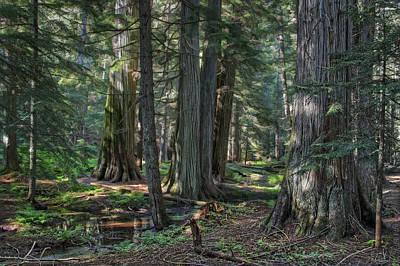 Ross Creek Old-growth Cedar Trees Print by Daniel Hagerman