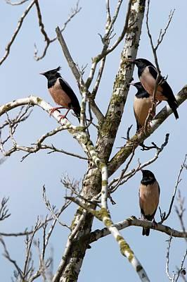 Starlings Photograph - Rosy Starling (sturnus Roseus) by Photostock-israel
