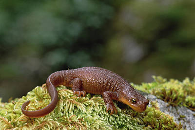 Newts Photograph - Rough-skinned Newt Oregon by Gerry Ellis