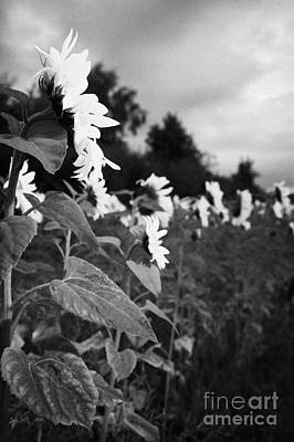 The Friendly Flower Photograph - Row Of Sunflowers Helianthus Annuus Pointing To Early Morning Dawn Sunrise by Joe Fox