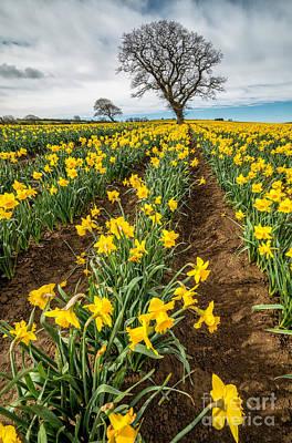 Daffodils Digital Art - Rows Of Daffodils by Adrian Evans