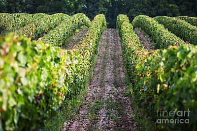 Rows Of Vines Print by Tony Priestley