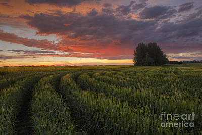 Alberta Prairie Landscape Photograph - Rows Of Wheat by Dan Jurak