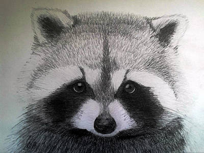 Raccoon Drawing - Roxy by Becca Miller