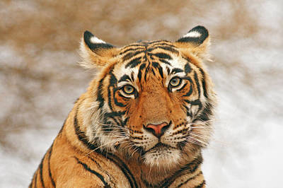 Royal Bengal Tiger - A Portrait Print by Jagdeep Rajput