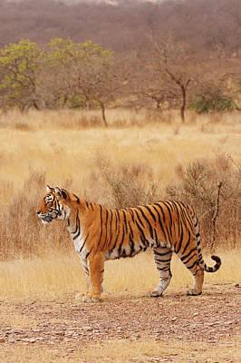 Royal Bengal Tiger In The Dry Print by Jagdeep Rajput