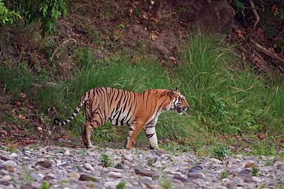 Royal Bengal Tiger On The Riverbed Print by Jagdeep Rajput