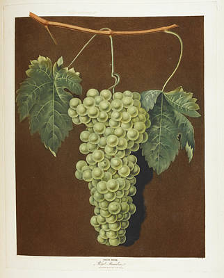Royal Muscadine Print by British Library