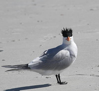 Ocean Photograph - Royal Tern Mohawk by Cathy Lindsey