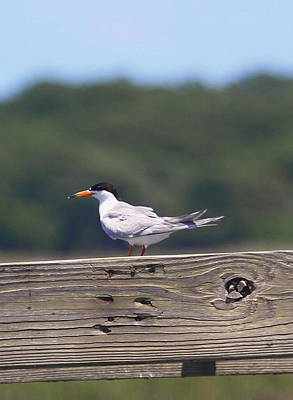 Tern Photograph - Royal Tern 3 by Cathy Lindsey