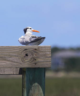 Seagull Photograph - Royal Tern 2 by Cathy Lindsey