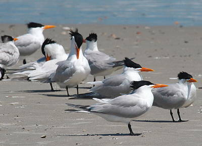 Beak Photograph - Royal Terns 2 by Cathy Lindsey