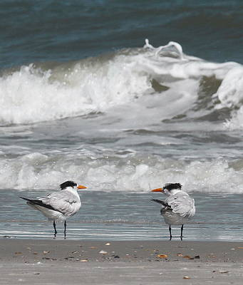 Tern Photograph - Royal Terns 7 by Cathy Lindsey
