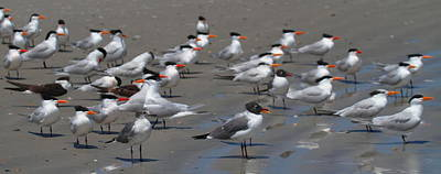 Royal Terns And Seagulls Print by Cathy Lindsey