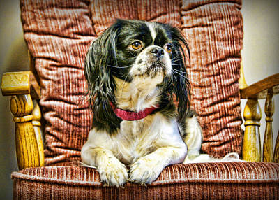 Japanese Chin Photograph - Royalty - Japanese Spaniel by Cricket Hackmann