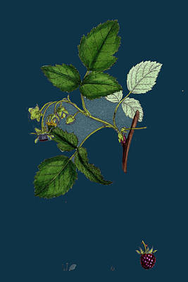 Raspberry Drawing - Rubus Idaeus Raspberry by English School