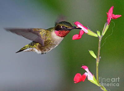 Hummingbird Ruby And Red Print by Wayne Nielsen