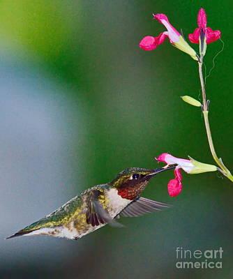 Ruby Red Hummingbird And Flowers Print by Wayne Nielsen