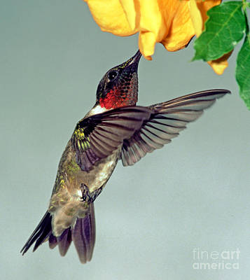 Nectaring Bird Photograph - Ruby-throated Hummingbird Male At Flower by Millard H. Sharp