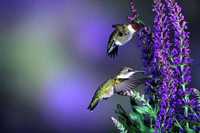 Ruby-throated Hummingbird Photograph - Ruby-throated Hummingbirds (archilochus by Richard and Susan Day