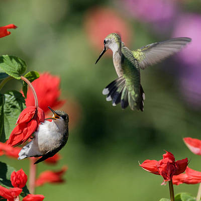 David E Lester Photograph - Ruby-throated Hummingbirds by David Lester