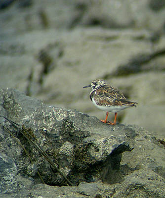 Birds Photograph - Ruddy Turnstone by MB Gauthier