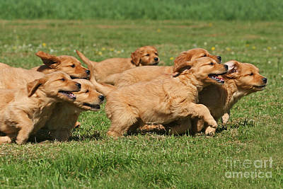 Running Golden Retriever Puppies Print by Dog Photos