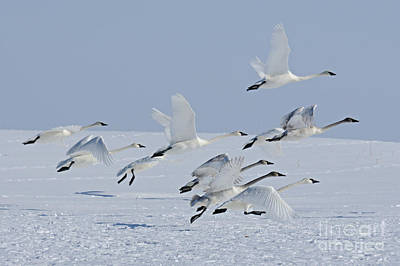 Swan Photograph - Running Into The Sky by Larry Ricker
