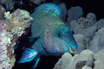 Rusty Parrotfish Print by Jeff Rotman
